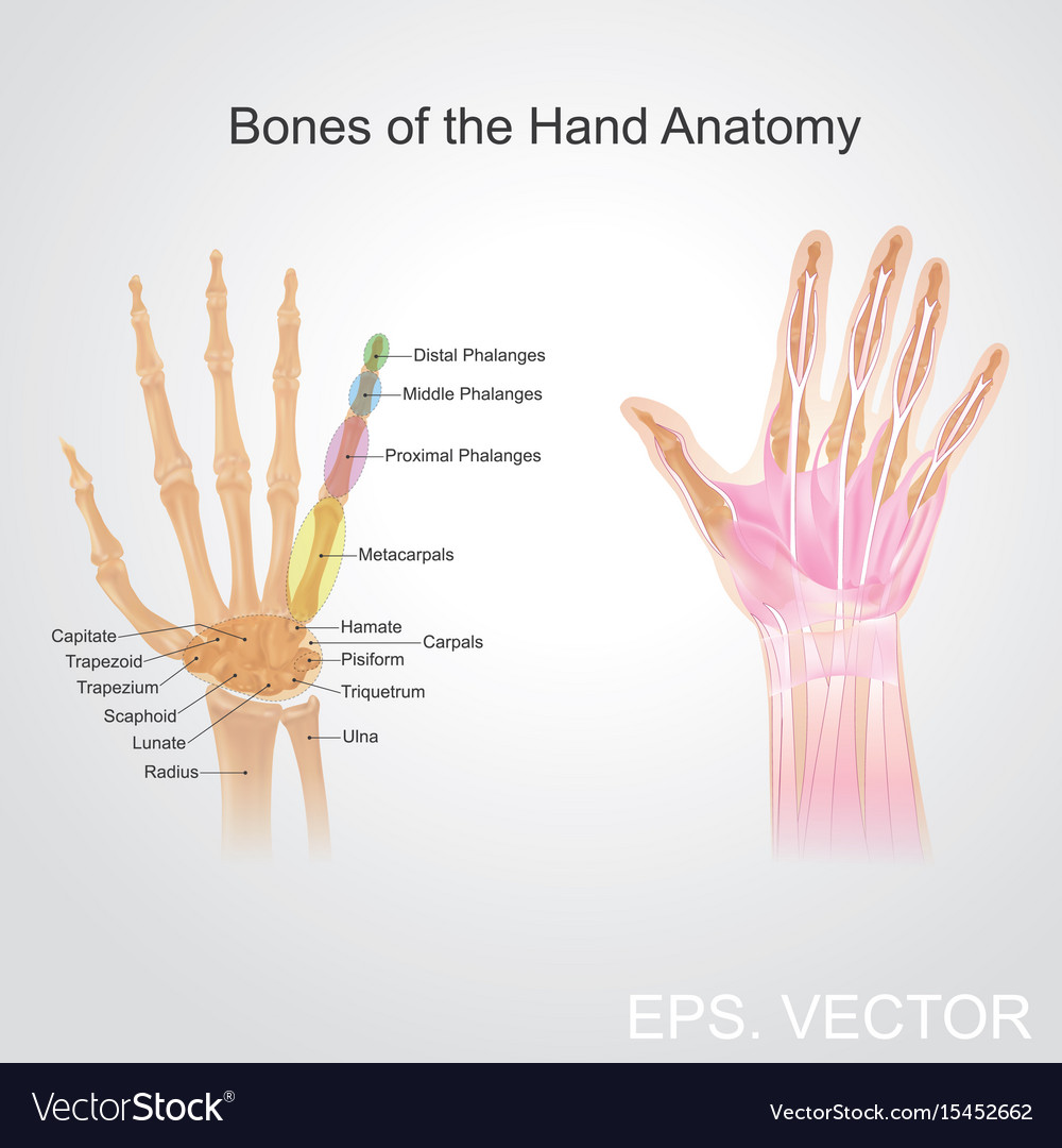 The anatomy of a hand