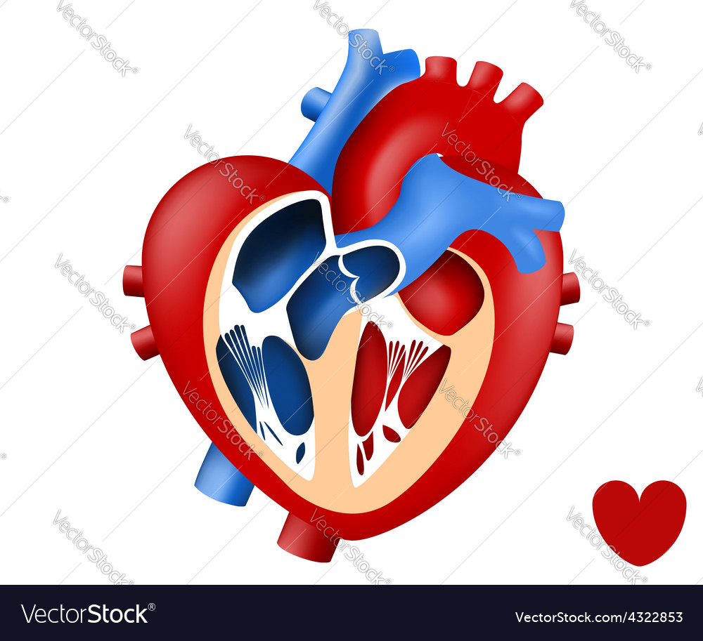 Vector image of human heart