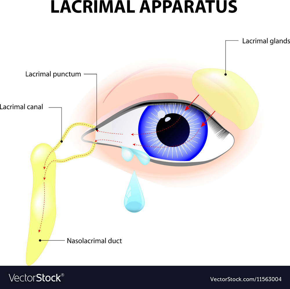 Anatomy of lacrimal gland 1656503 - follow4more.info