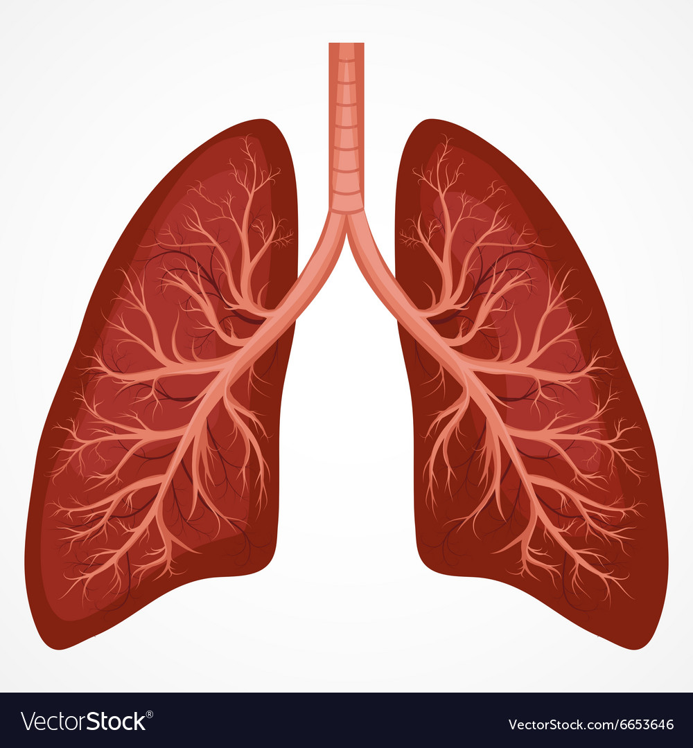 Real healthy human lungs