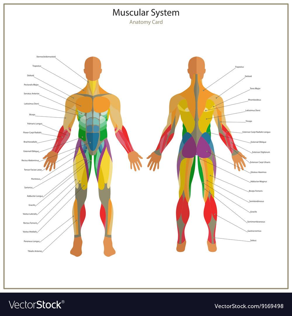 Human anatomy guide