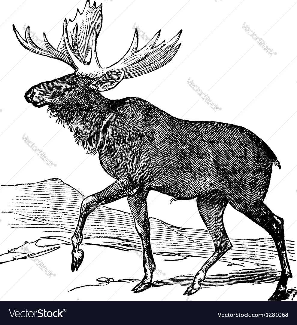 Moose vintage engraving vector