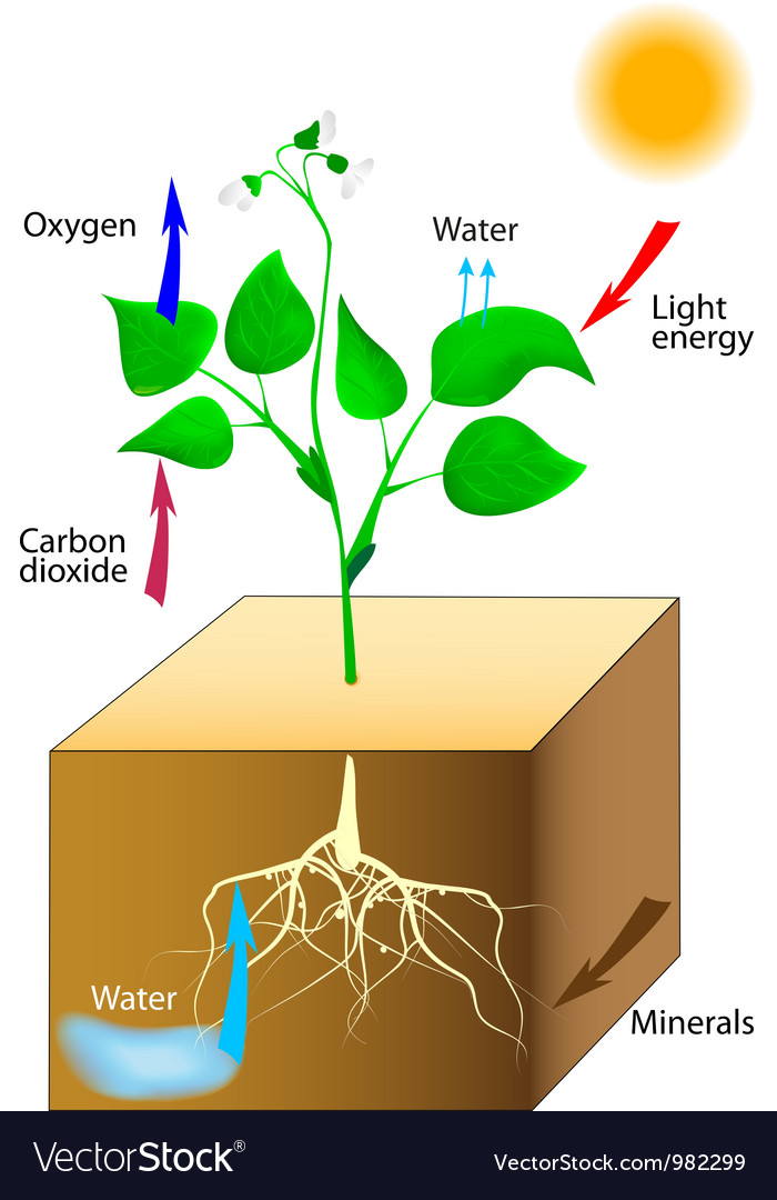 Photosynthesis vector