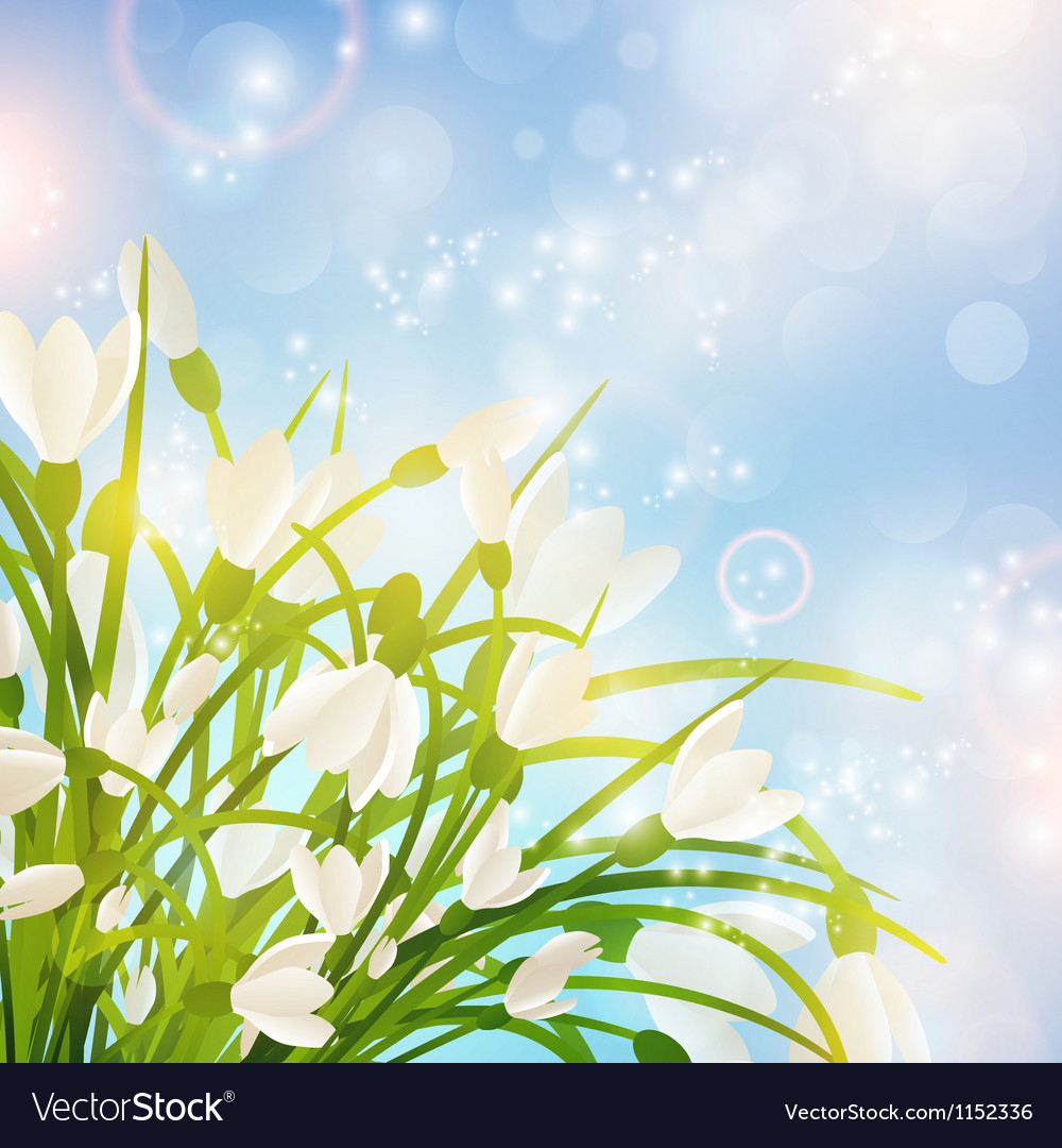 Spring snowdrop flowers vector