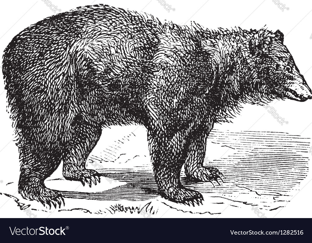 American black bear engraving vector