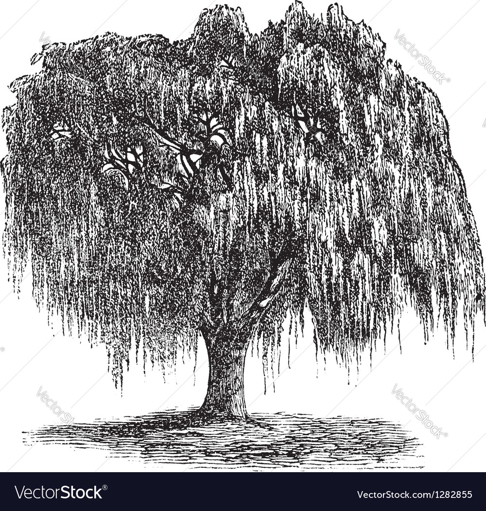 Babylon willow vintage engraving vector