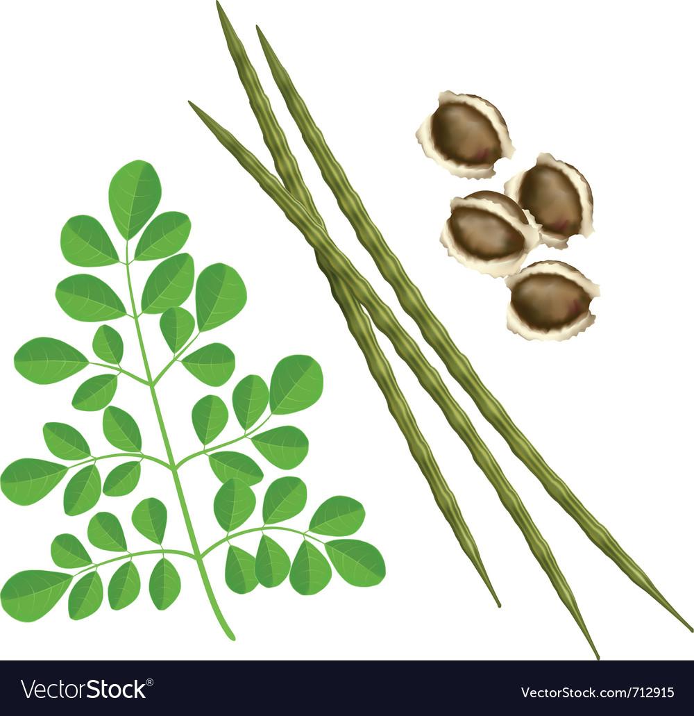 Moringa oleifera plant vector