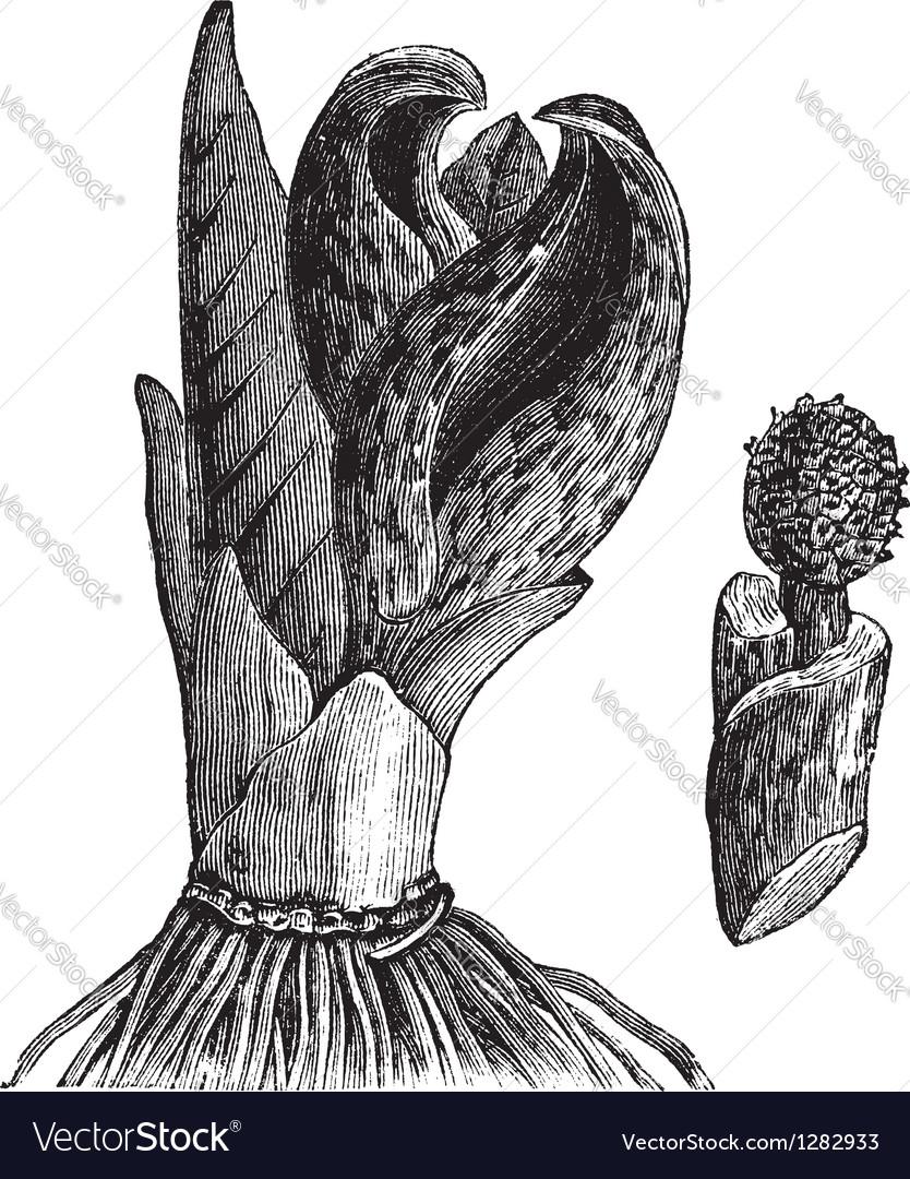 Vintage skunk cabbage sketch vector