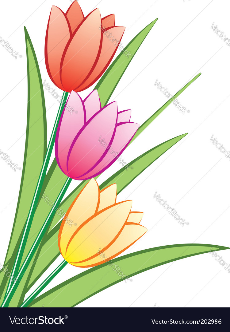 Tulip flowers vector