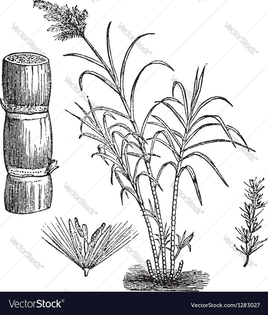 Sugar cane vintage engraving vector