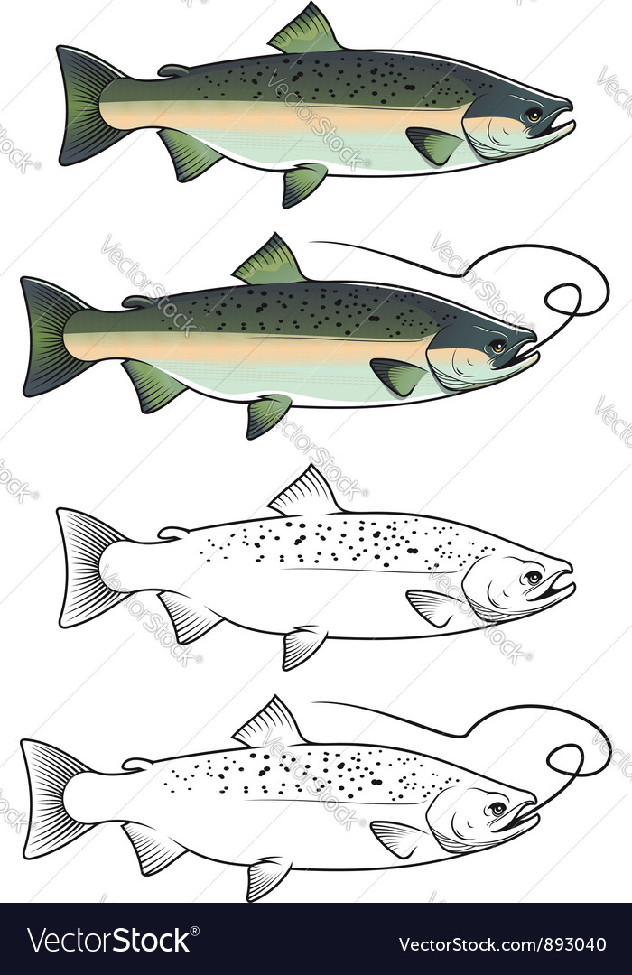 Chum salmon fish vector