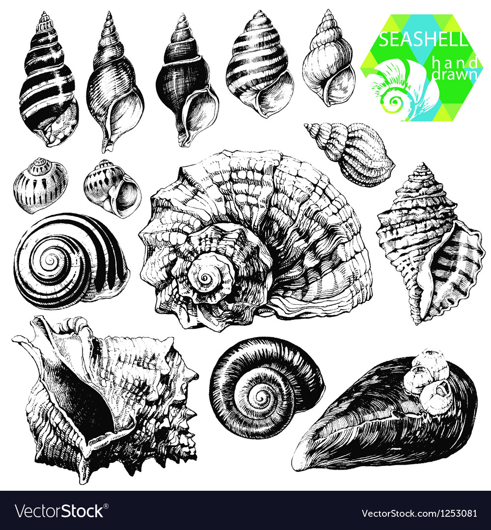 Sea shells vector