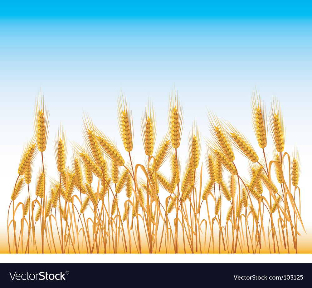 Field of wheat vector