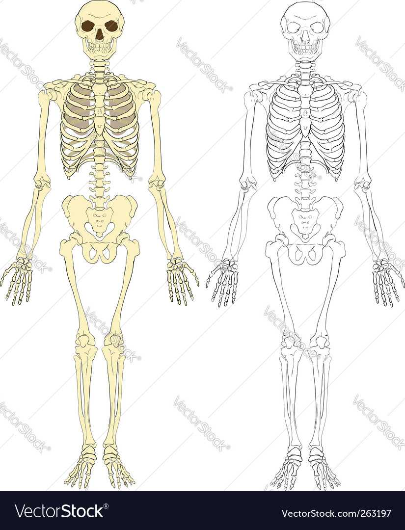 Skeleton illustration vector