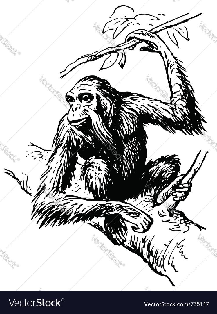 Orangutan vector