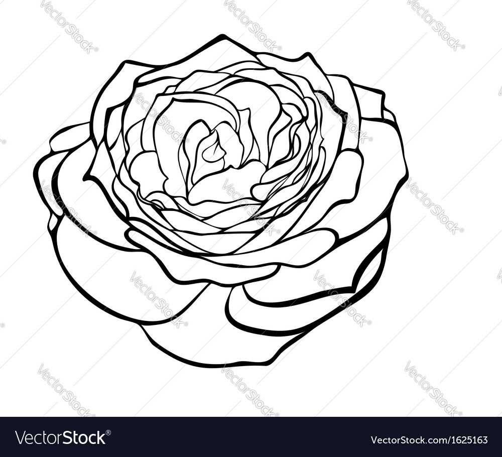 Rose in the style of black and white engraving vector