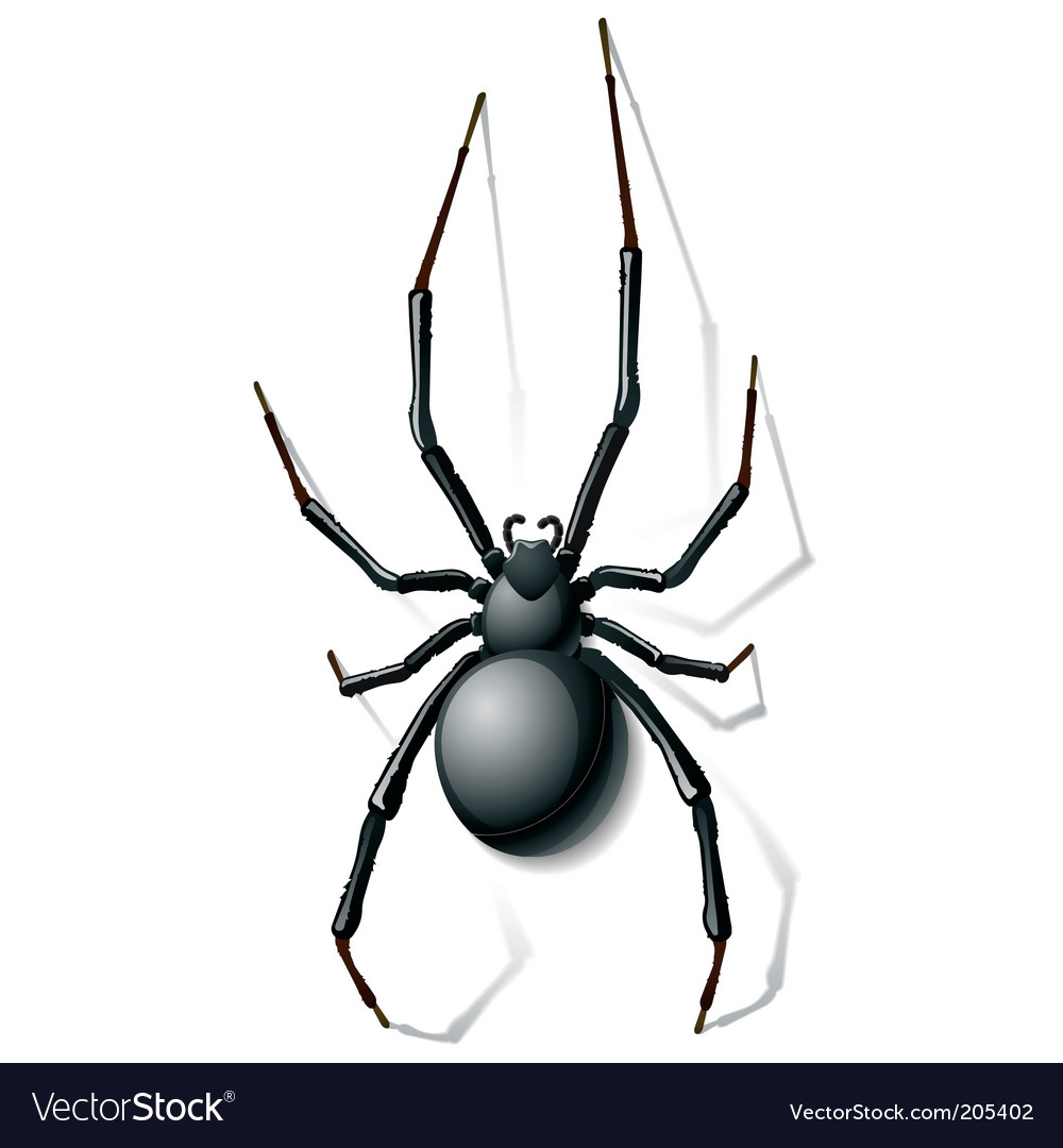 Widow spider vector