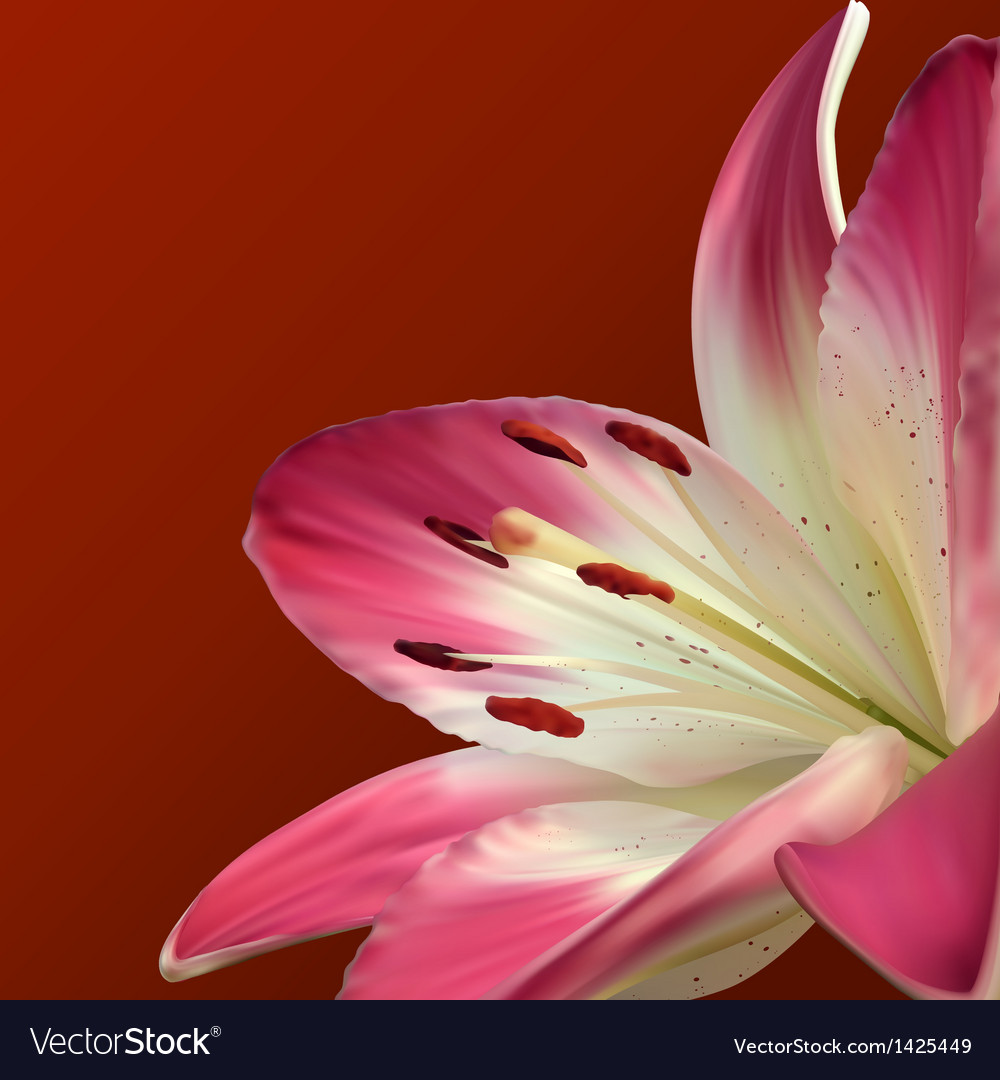 Pink lily on burgundy background vector