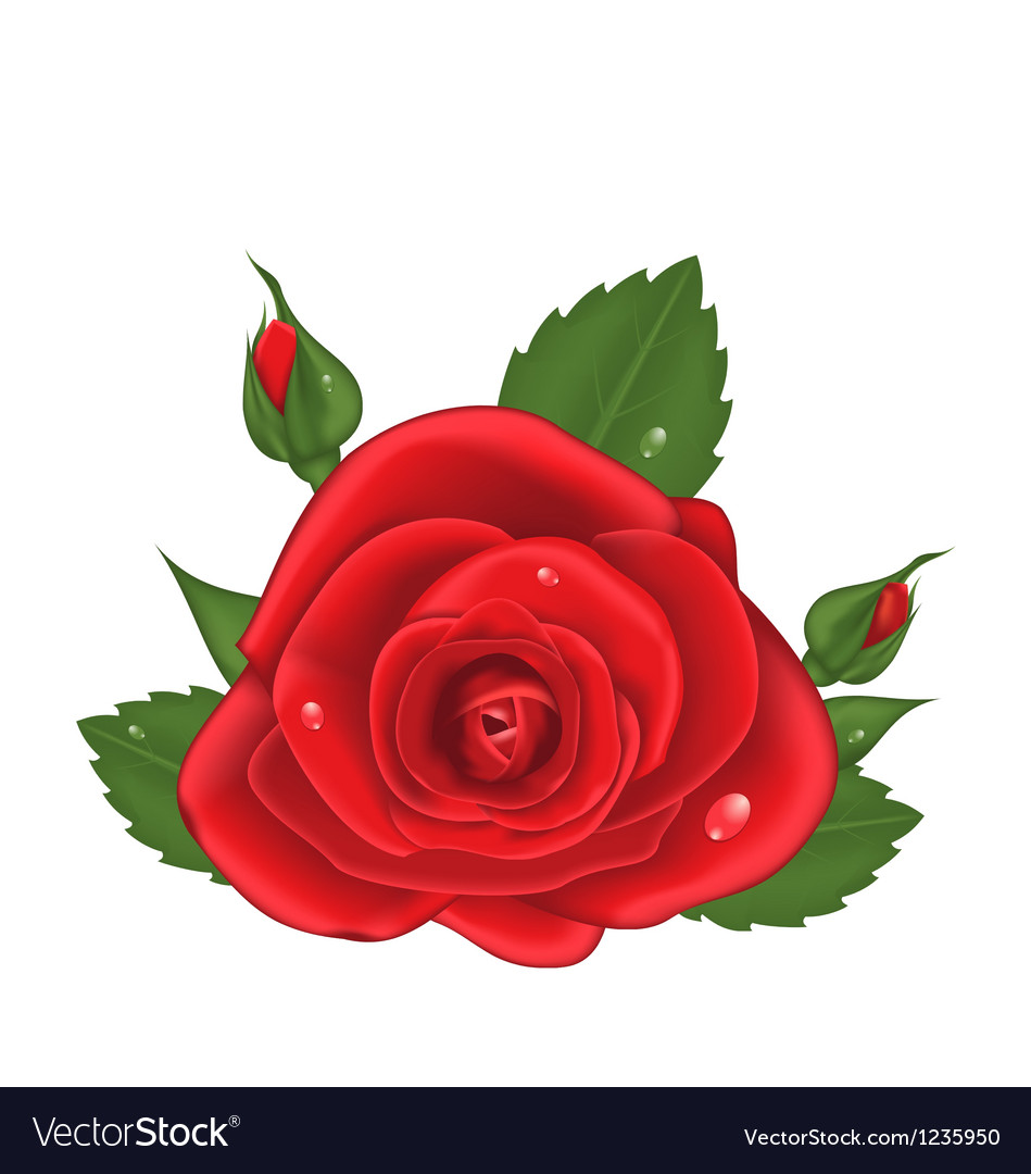 Closeup red rose isolated on white background vector