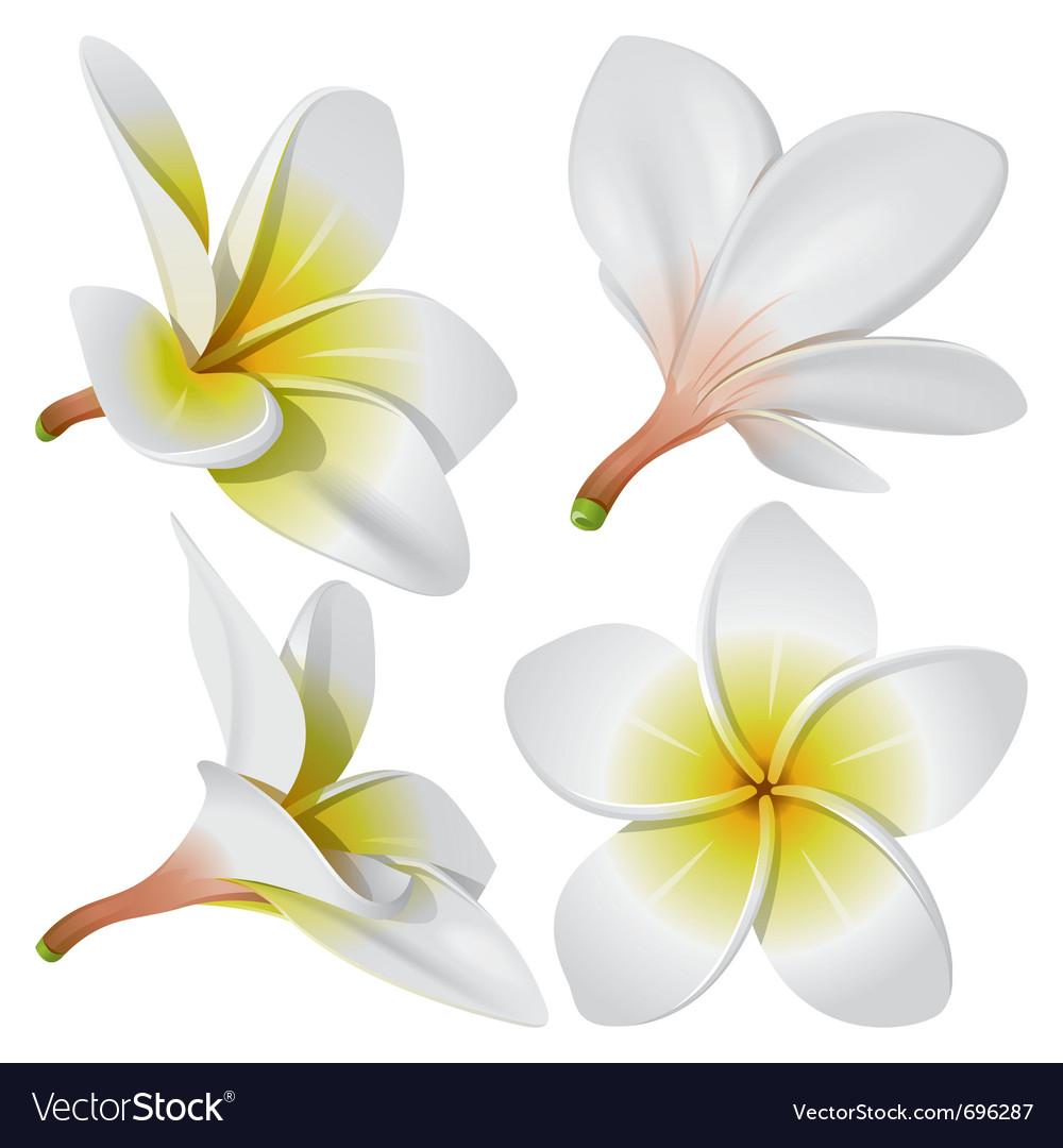 Frangipani flowers vector