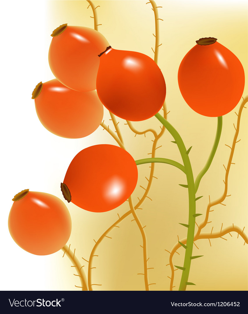 Rose hips vector