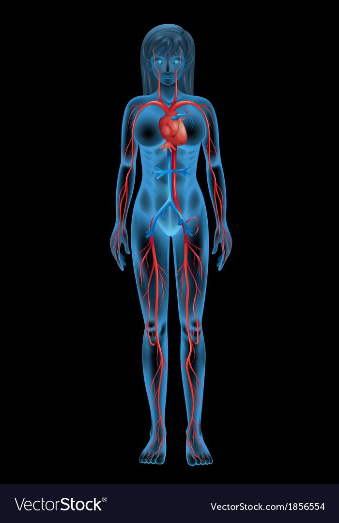 Human circulatory system vector