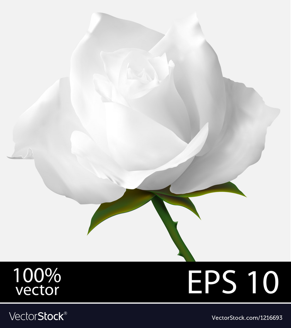 White rose realistic vector