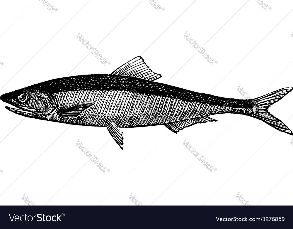 European anchovy vintage engraving vector