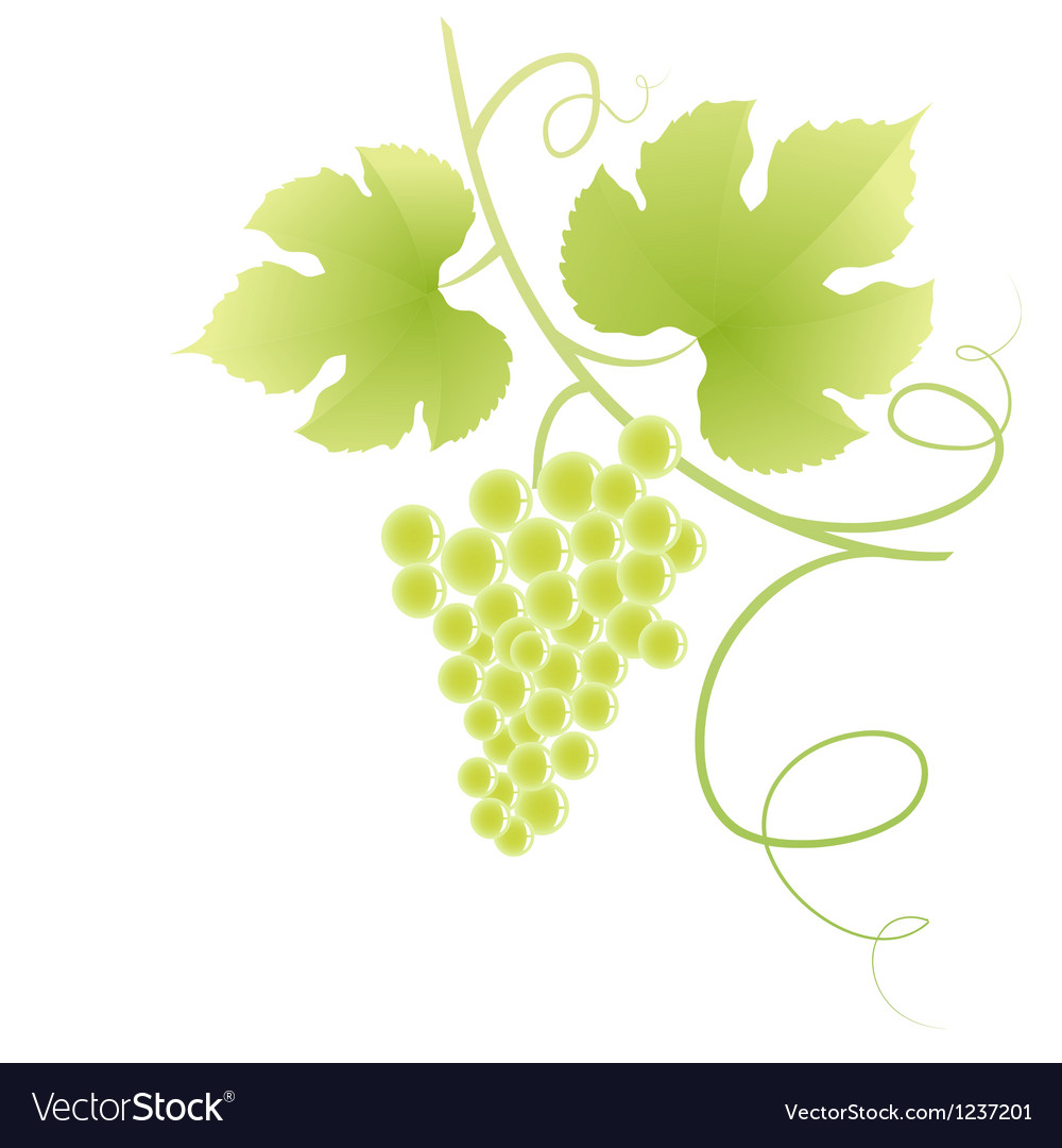Beautiful green grape vine vector