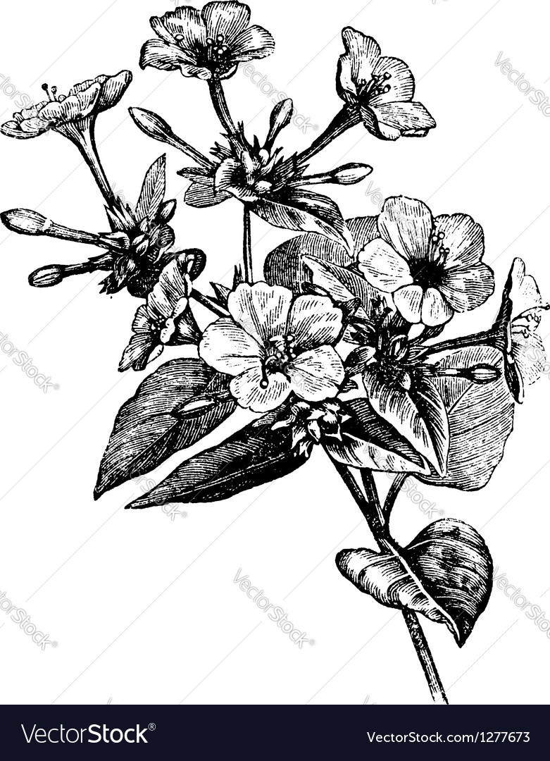 Four o clock flower vintage engraving vector