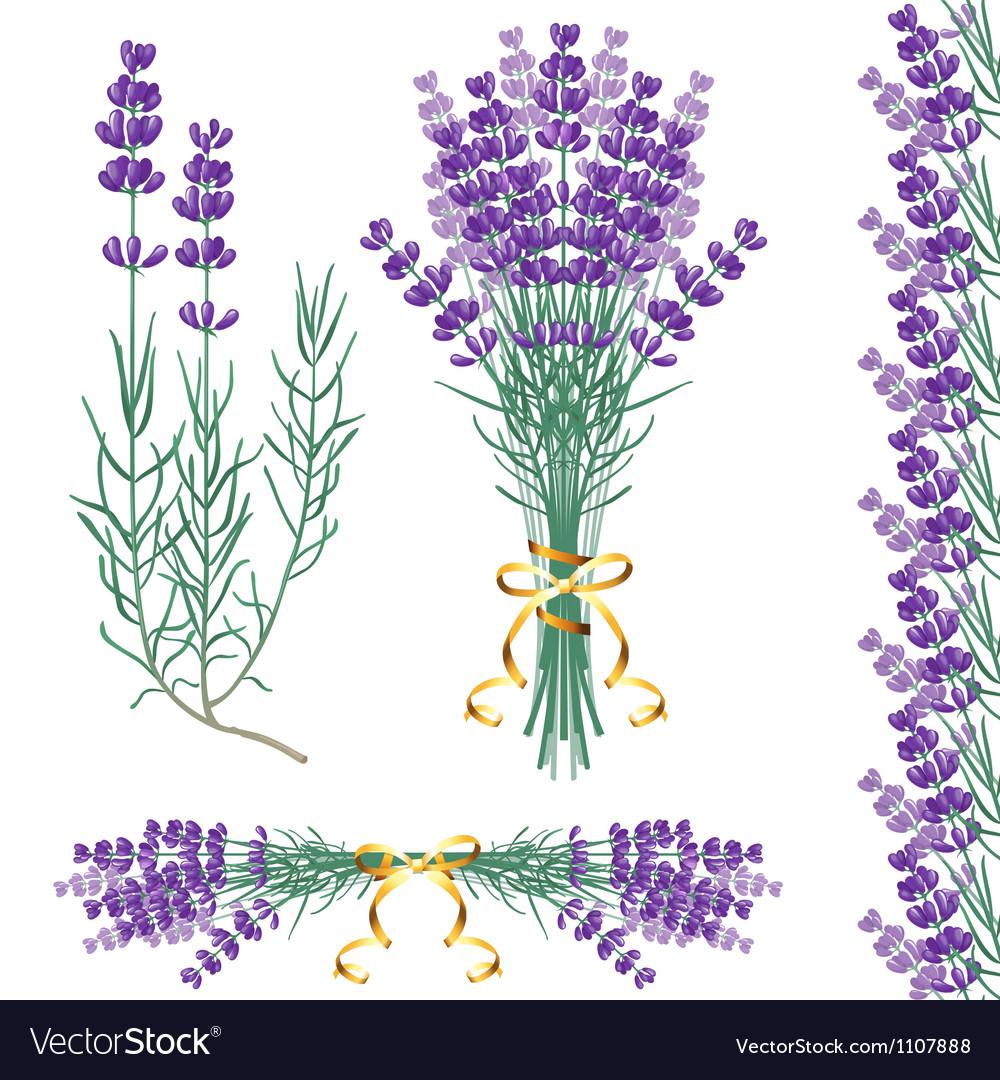 Lavender common vector