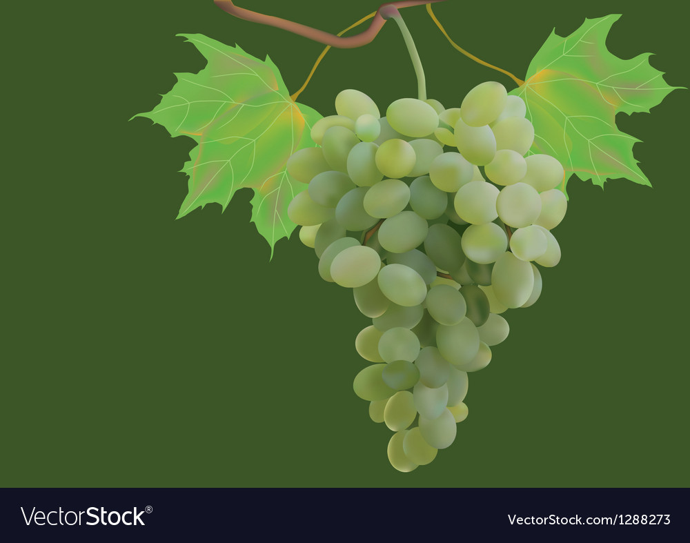Summer autumn grapes postcard vector