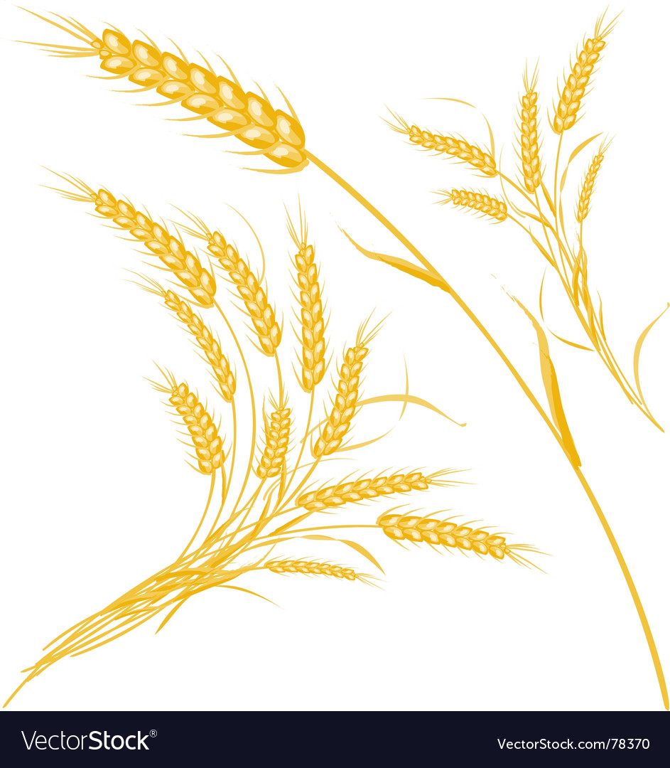 Wheat vector by Arcoindex - Image #78370 - VectorStock