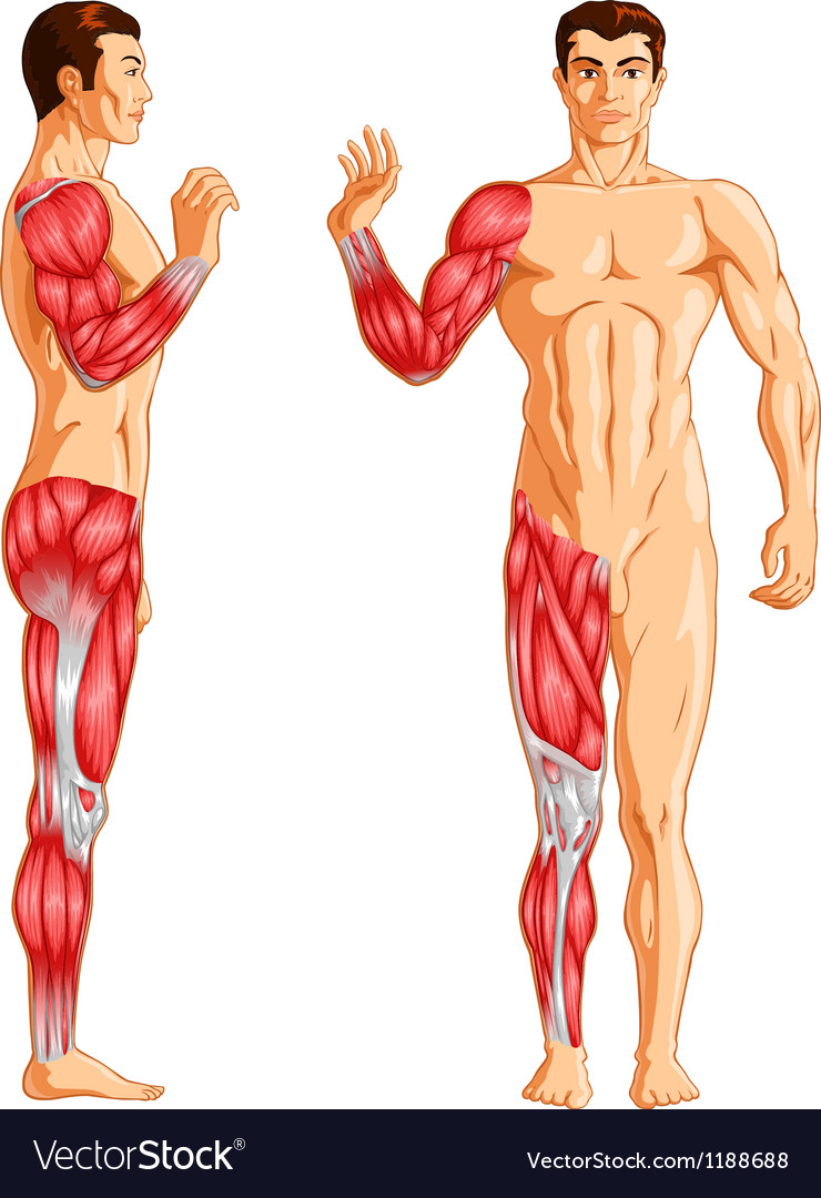 Human arm and leg muscles vector