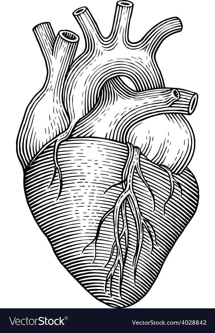 Human heart vector by sunday cake image 4028842 vectorstock