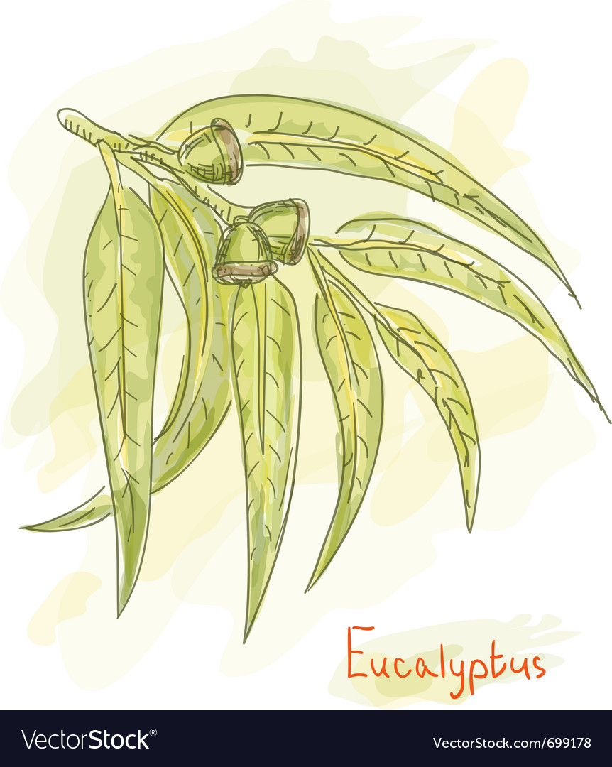 Eucalyptus branch watercolor vector
