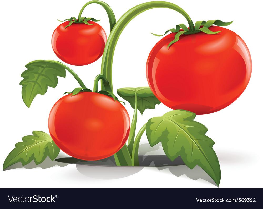 Red ripe tomato vector