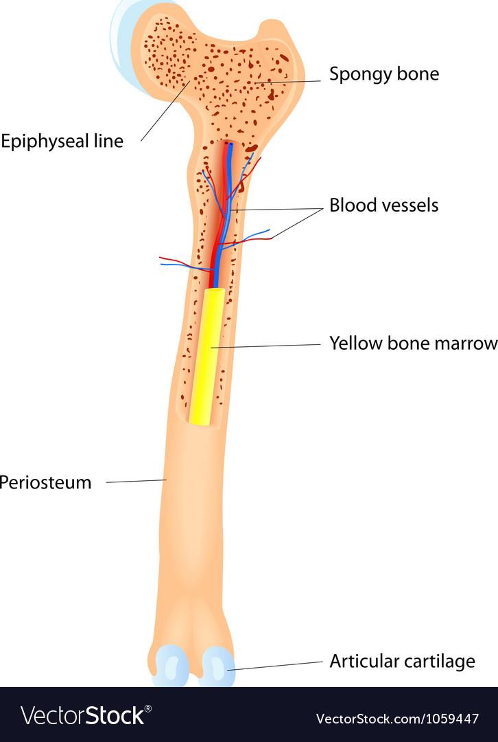 Bone anatomy scheme vector by designua image 1059447 vectorstock