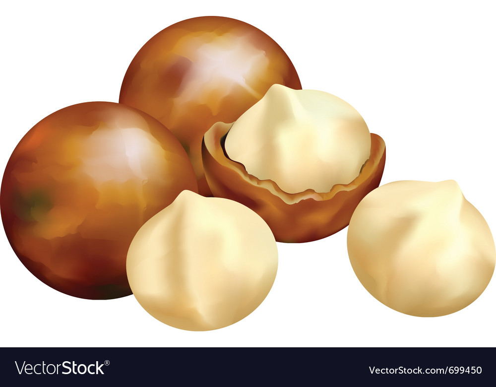 Nuts of macadamia vector