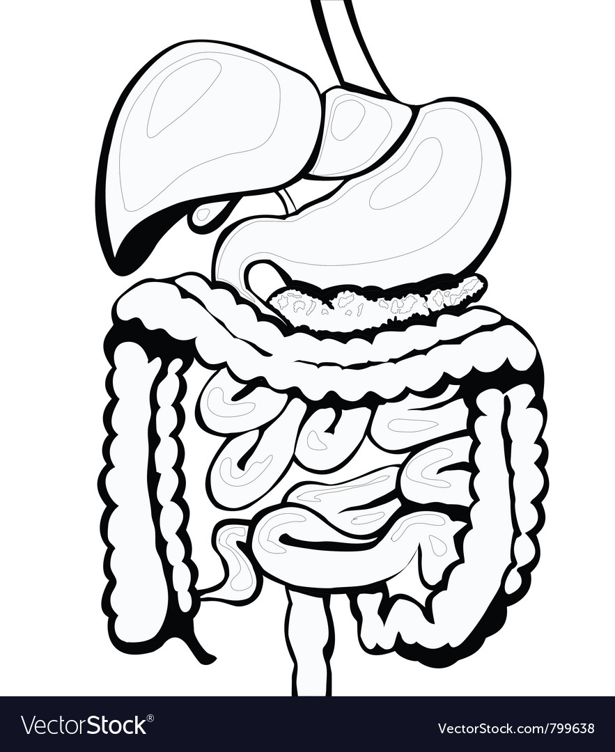 Fascia besides 7505458324 likewise Urinary System Diagram Unlabeled as well How To Draw Cartoon Anatomy How To Draw Cartoon Anatomy likewise The Digestive System And The Liver The Mouth Saliva Teeth And Tongue. on digestive system back