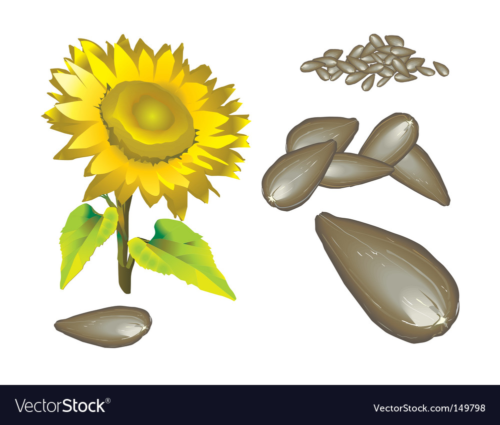 Seed of the sunflower vector