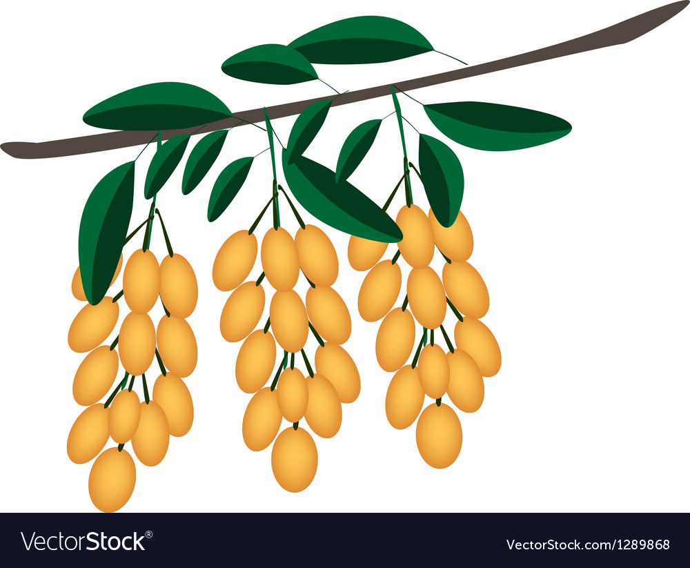 Fresh juicy burmese grape on tree bunch vector