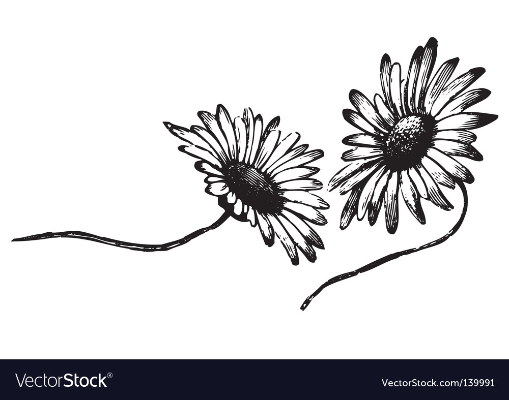 Antique daisies engraving vector