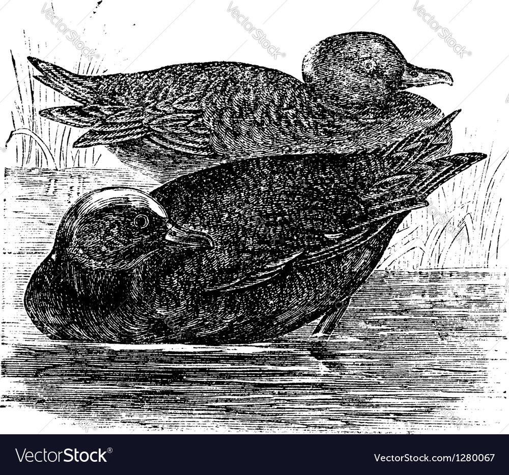 Wigeon vintage engraving vector