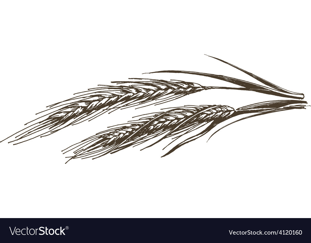 Wheat logo design template food or grain vector
