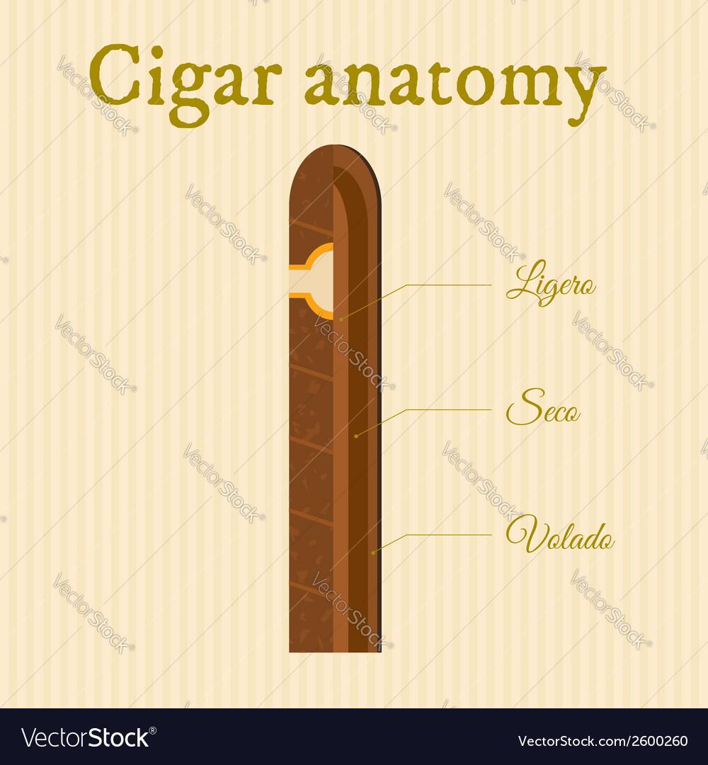 Cigar anatomy vector