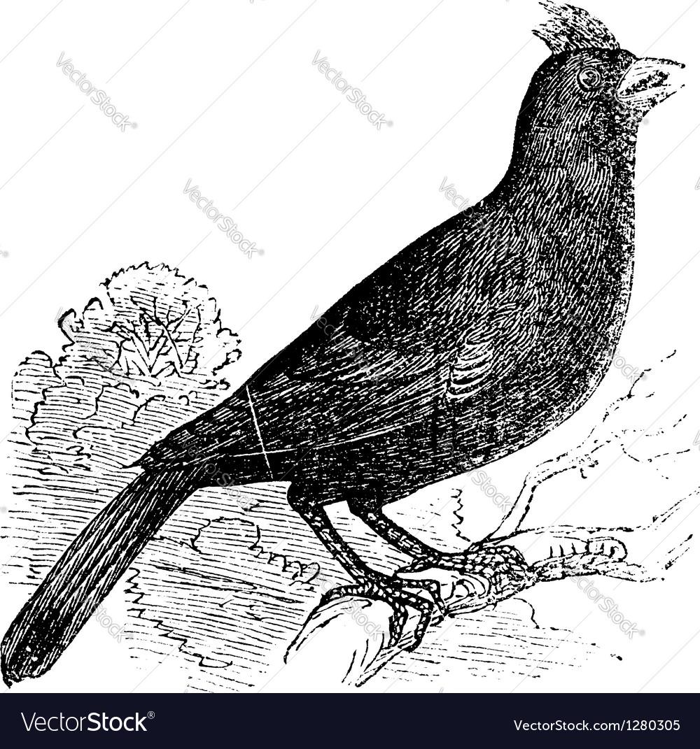 Cardinal of virginia engraving vector