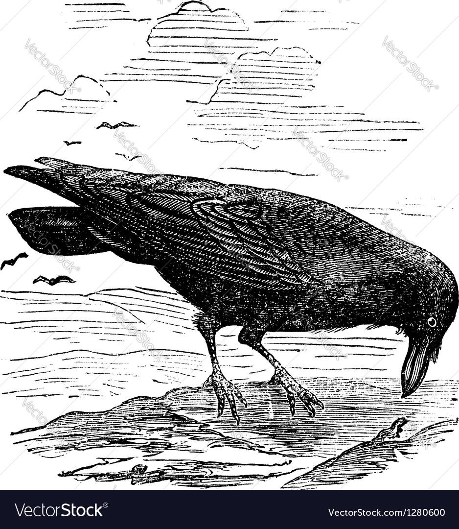 Common raven engraving vector