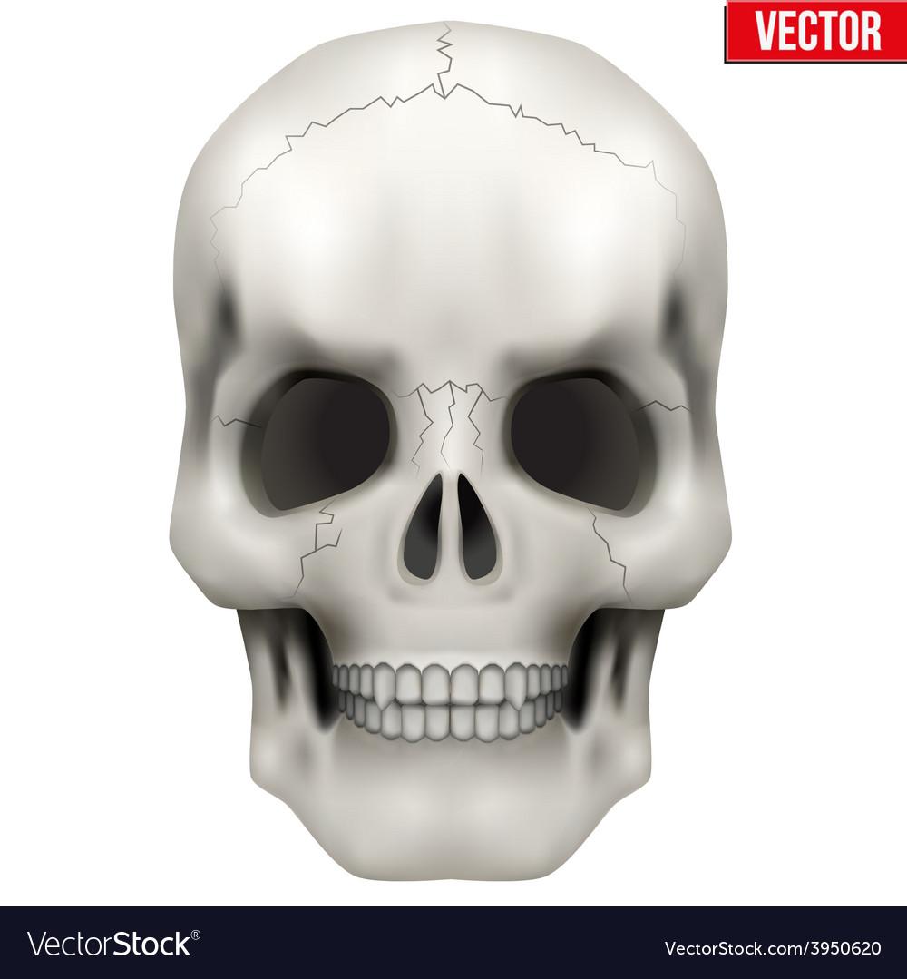 Human skull on isolated white vector
