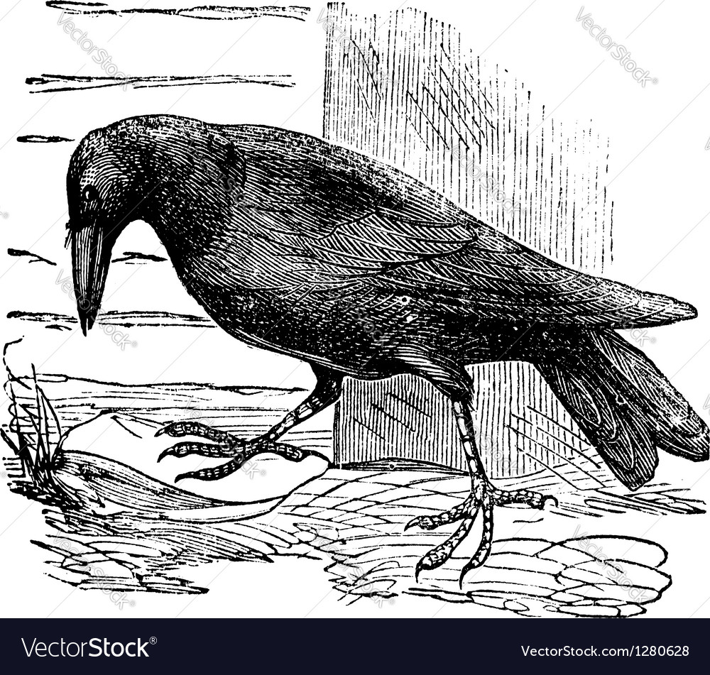 Raven vintage engraving vector